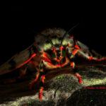 Rosy gypsy moth (Lymantria mathura) fluorescence - (c) Shawn Miller