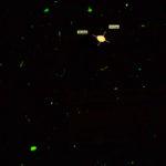 DVM6 fluorescence - pollen grain