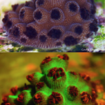 Coral Acropora cervicornis in white light (top) and fluorescence