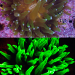 Coral Dendrogyra cylindrus in white light (top) and fluorescence