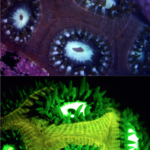 Coral Montastrea cavernosa in white light (top) and fluorescence